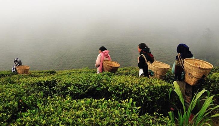 История зарождения чайной культуры. Как происходит сбор чая.